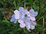 Wild Petunia Flower 4.jpg