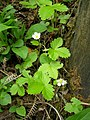 Wild Strawberry - geograph.org.uk - 456495.jpg