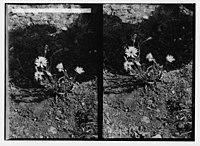 Wild flowers of Palestine. Wild salsify. (Scorzonera papposa DC.). LOC matpc.02456.jpg