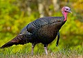 Wild turkey eastern us.jpg