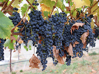 Canopy (grape) - During veraison, when the grapes change color, the shoots of the vine start to harden and brown.