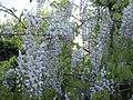Wisteria sinensis BG.jpg