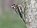Yellow-bellied Sapsucker RWD2.jpg
