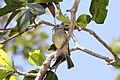 Yellow-olive Flycatcher (Tolmomyias sulphurescens) (7222949876).jpg