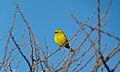 Yellow Canary (Crithagra flaviventris) (6536890761).jpg
