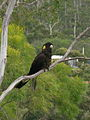 Yellow Tailed Black Cockatoo.jpg