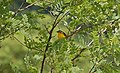 Yellow breasted Chat (5887295841).jpg