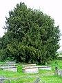 Yew at Llangar Churchyard - geograph.org.uk - 170556.jpg