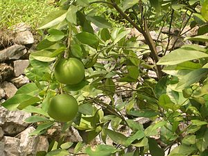 Sandouping - Pomelos or grapefruits in the neighboring town of Letianxi