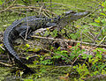 Young Alligator at Lake Woodruff National Wildlife Refuge - Flickr - Andrea Westmoreland.jpg