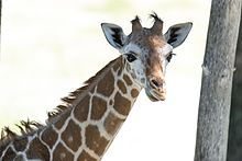 Young Giraffe Profile (19999807755).jpg