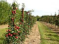 Young apple trees bearing fruit - geograph.org.uk - 1476095.jpg