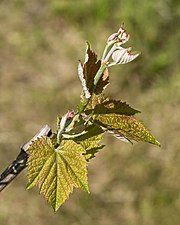 Young grapevine leaves 1.jpg