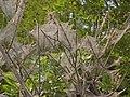 Yponomeutidae - Yponomeuta plumbella - Collective nests.JPG