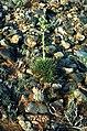 Yucca nana fh 1180.28 Scl parviflorus fh 69.903 UT BB.jpg