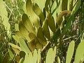 Zamia furfuracea (4745024191).jpg