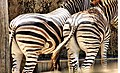 Zebra, Eva Rinaldi Photography (5392747001).jpg