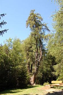 Zedlach - Zedlacher Paradies Einzelbaum.JPG