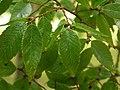 Zelkova leaves and seeds.jpg