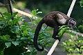 Zoo Zagreb-capuchin monkey.jpg