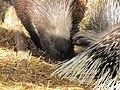 Zoo des 3 vallées - Porc-épic - 2015-01-02 - i3265.jpg