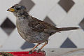 """Bald?"" White-crowned sparrow (9280158257).jpg"