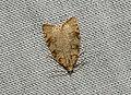 (1032) Aleimma loeflingiana (3669385939).jpg