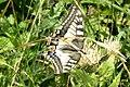 (Continental) Swallowtail (Lermoos) (15496520198) (2).jpg