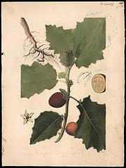 (Solanum)