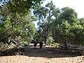 Δάσος Κουμαριάς 3.jpg