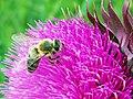 Η μέλισσα και το γαιδουράγκαθο.jpg