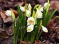 Белоцветник весенний в Саду Травникова.jpg