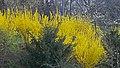 Ботанічний сад ім. акад. Фоміна, цвіте форзіція.jpg