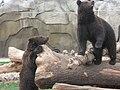 Бурые медведи в Ижевском зоопарке.jpg