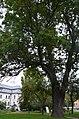 Дерева на території заповідника Софія Київська.jpg