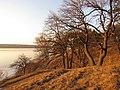 Дубы-козацкие современники на берегу Днепра немного выше устья балки урочища Яцево.jpg