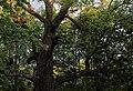 Дуб Гузовского (Старейшина чувашских дубов).jpg