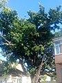 Дуб черешчатий, м.Херсон, вул. Декабристів, 31.jpg