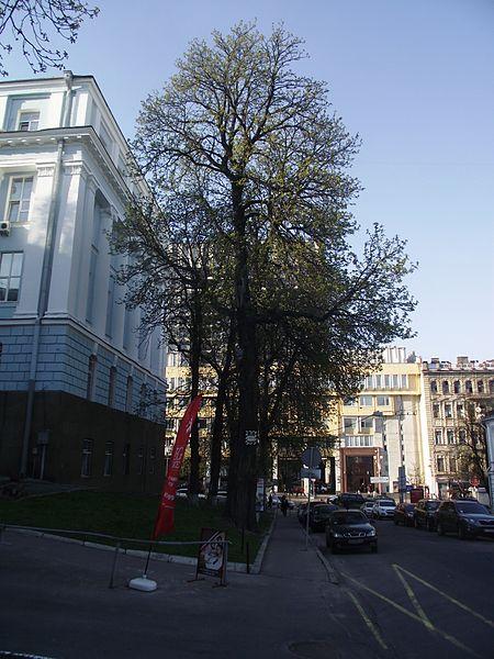 File:Каштан Воїнственського 01.JPG