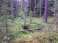 Лес в районе пос. Заполье - panoramio.jpg