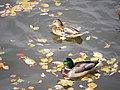 Парк Царицыно, самка и самец кряквы.JPG