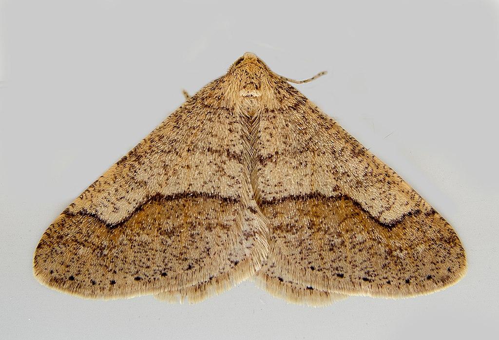File:Пяденица Обдирало Желто-Серый - Agriopis Marginaria - Dotted
