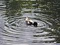 Стрельна, Орловский парк, пруд с островом04.jpg