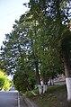 Туя західна поблизу будівель Кам'янець-Подільського.jpg
