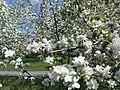 Цветущие сады.JPG