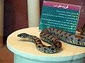 حیوانات تاکسی درمی شده - موزه تاریخ طبیعی شهر قم 23.jpg