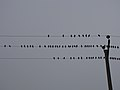 رفتار عجیب سارها بر روی تیرهای برق در اطراف شهر قم، ابتدای فصل زمستان - عکاس. مصطفی معراجی 11.jpg