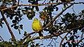 এজনী হাইঠা চৰাইৰ ছবি, Yellow footed green pigeon.JPG