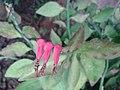 கண்ணாடிக் கள்ளி 3 (Euphorbia tithymaloides).jpg