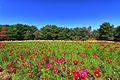 ひたち海浜公園 - panoramio (160).jpg